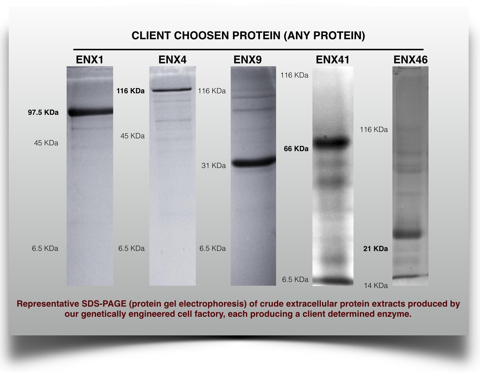 client protein